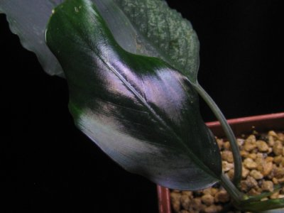 "画像2: Bucephalandra sp. ""Giant metallic blue""rare"