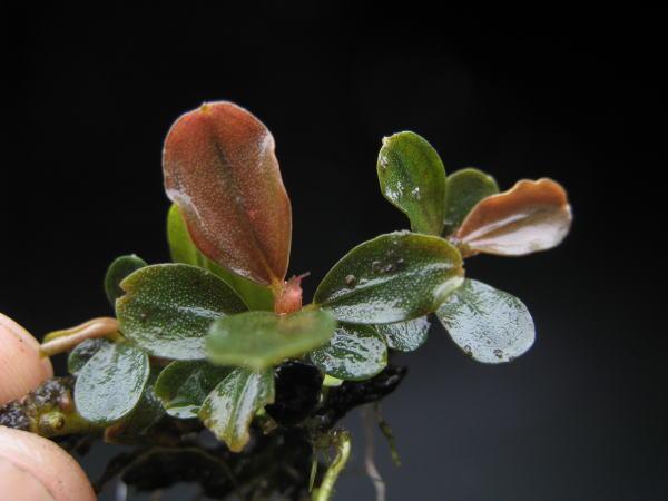 "画像1: Bucephalandra sp.""Brownie Helena"" (1)"