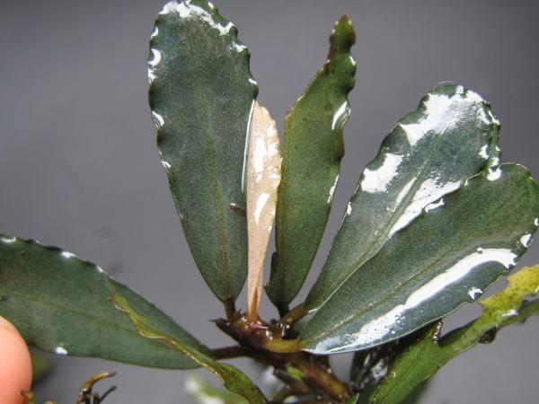 "画像1: Bucephalandra sp.""Hyuperion"" (1)"