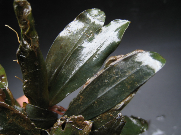 画像1: Bucephalandra sp. Red Velvet (1)
