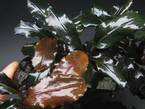 画像1: Bucephalandra sp.Theia Upper cold water (1)