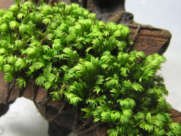画像1: 【コケ】Velours moss 付流木 (1)