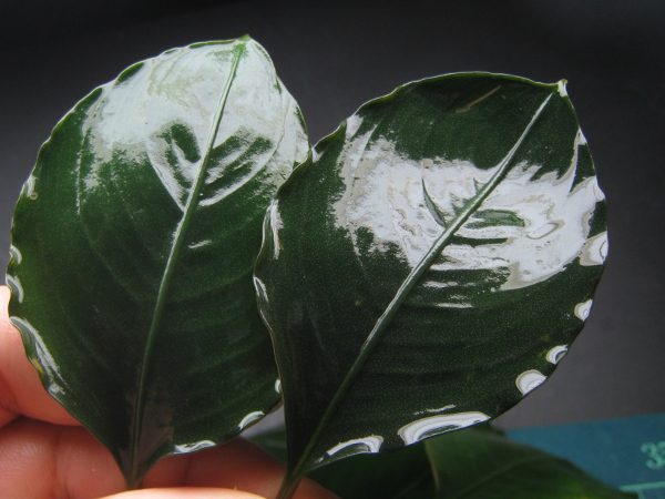 画像1: Bucephalandra sp. flamingo broad leaf (1)