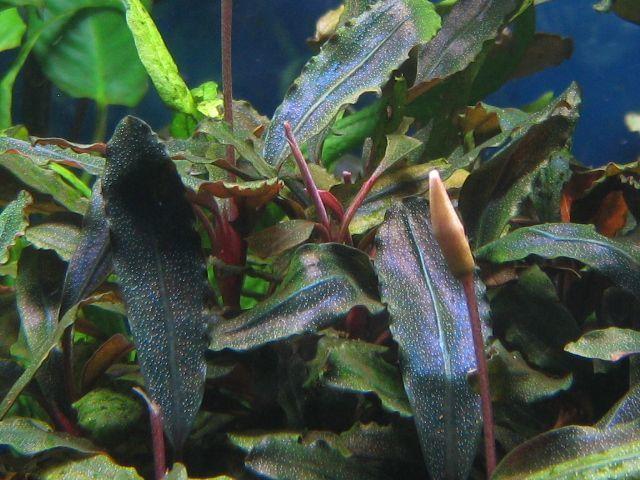 """画像1: Bucephalandra sp. """"Rainbow heaven"""" (1)"""