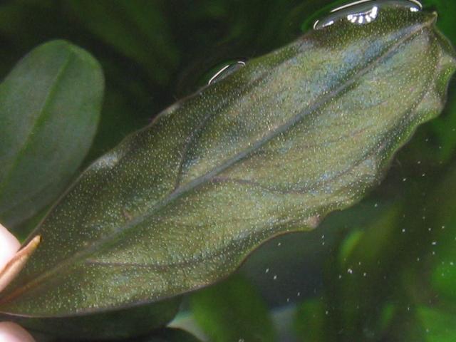 """画像1: Bucephalandra sp.""""Copper delft blue""""  (1)"""