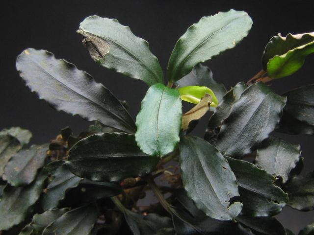 "画像1: Bucephalandra sp. ""kedagang blue"" (1)"