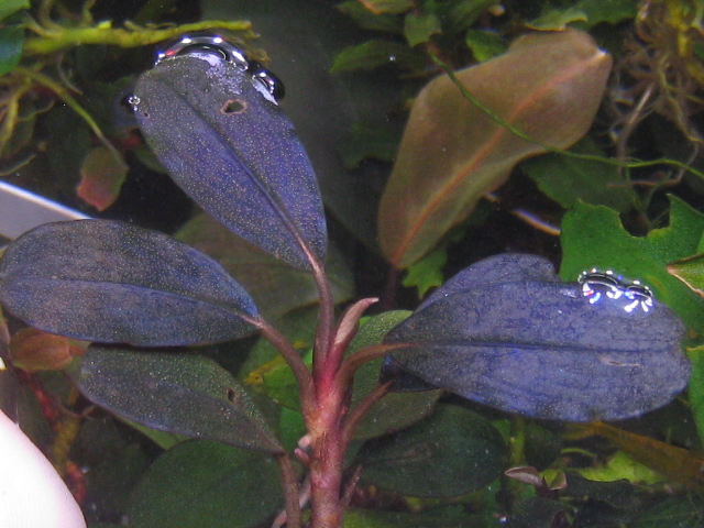 "画像1: Bucephalandra sp. ""Galaxy dark metallic"" (1)"