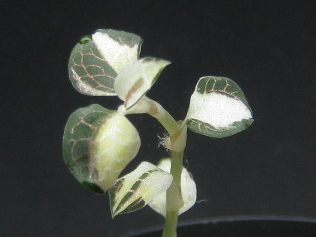 画像1: 【珍ジュエル】Anoectochilus sp.white variegata rare (1)