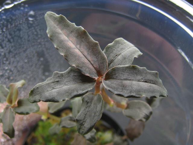 画像1: 【ジュエル】Cystorchis stenoglossa sp. (1)