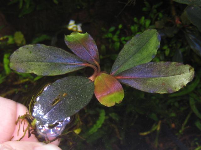 "画像1: Bucephalandra sp. ""Rainbow velvet"" (1)"