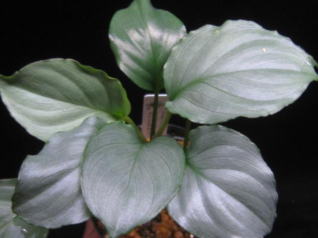 画像1: 【ホマ】Homalomena Green Metallic from Pangrango Mountain (1)
