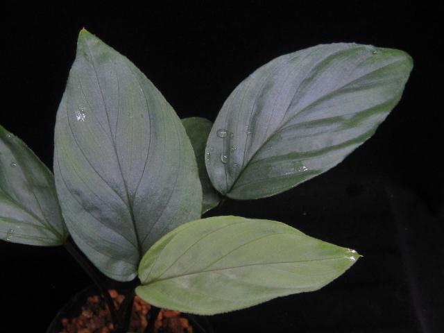 画像1: 【ホマ】Homalomena silver velvet from North Sibolga (1)