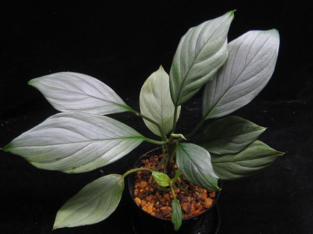 """画像1: 【ホマ】Homalomena sp. """"Silver-leaf"""" west kalimantan (1)"""