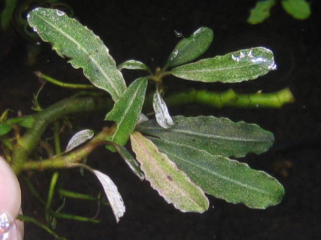 "画像1: Bucephalandra sp. ""variegata snow""rare  (1)"