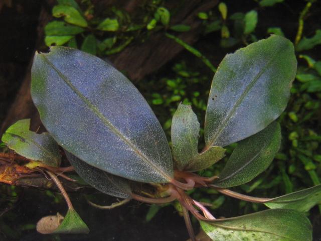 "画像1: Bucephalandra sp. ""Super dark blue"" Yusnia (1)"