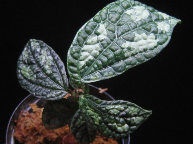 画像1: 【その他】Elatostema sp. Suratthani (1)