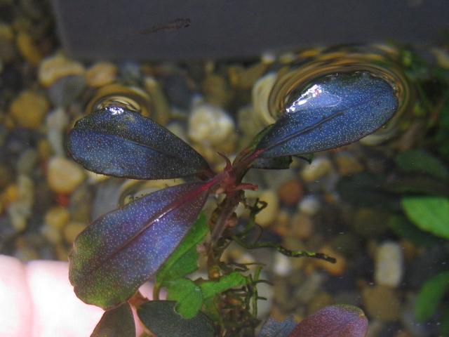 "画像1: Bucephalandra sp. ""Super midnight-blue"" (1)"
