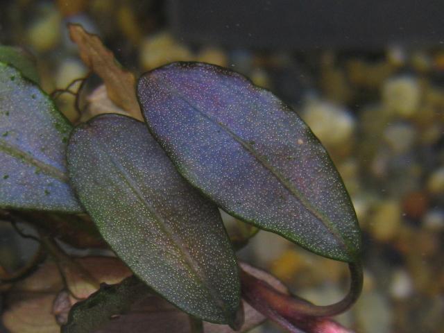"""画像1: Bucephalandra sp. """"Purple gray rose""""type2 rare (1)"""