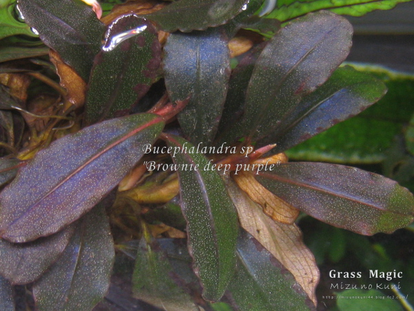"画像1:  Bucephalandra sp. ""Brownie deep purple"" original location (1)"