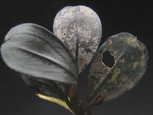 "画像1: Bucephalandra sp. ""Black oval"" (1)"