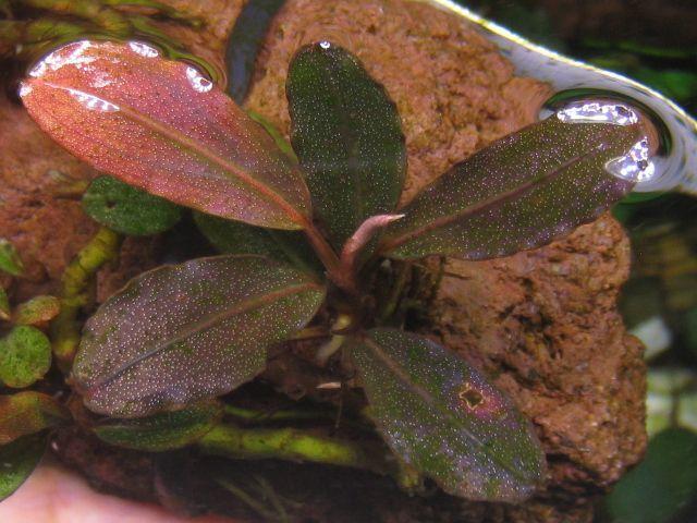 """画像1: Bucephalandra sp. """"Tricolor Red""""original location (1)"""