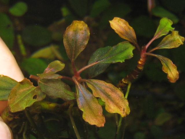 """画像1: Bucephalandra sp. """"Margaret""""small-type (1)"""
