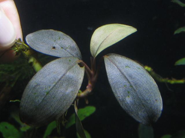 """画像1: Bucephalandra sp. """"Silver pearl"""" (1)"""