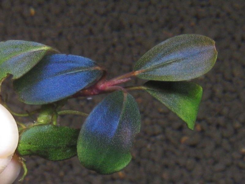 "画像1: Bucephalandra sp. ""Rainbow velvet round"" (1)"