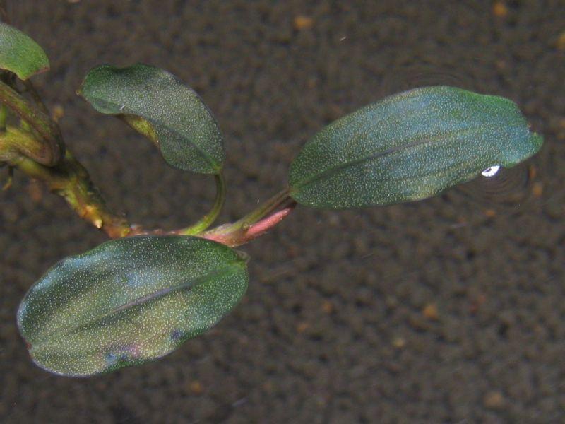 "画像1: Bucephalandra sp. ""Pearl metallic blue""original location (1)"
