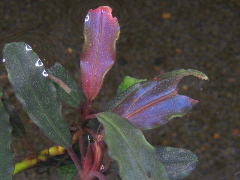 """画像1: Bucephalandra sp. """"Super Purple""""original location (1)"""