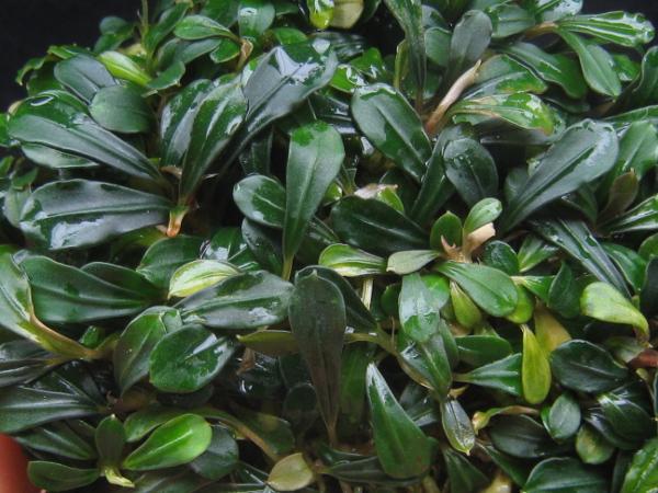"画像1: Bucephalandra sp. ""Kapit"" (1)"