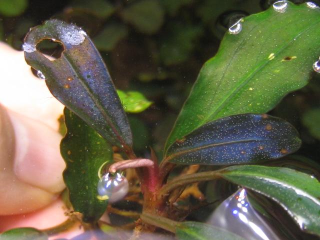 """画像1: Bucephalandra sp. """"Ulysses Excellent""""upper stream (1)"""