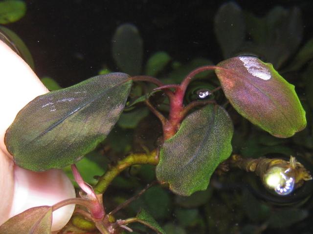 """画像1: Bucephalandra sp. """"Pearl metallic purple""""original location (1)"""