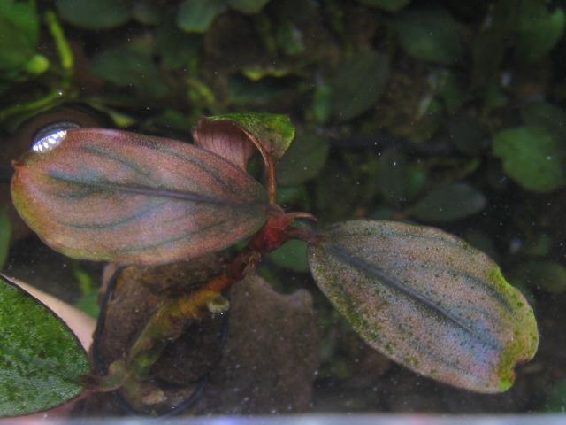 """画像1: Bucephalandra sp. """"Deep red""""original location (1)"""