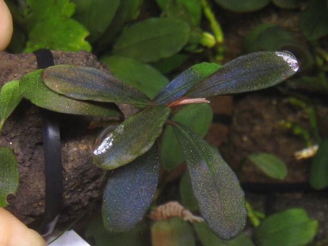 """画像1: Bucephalandra sp. """"Ghost""""kapuas hulu (1)"""