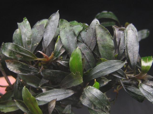 """画像1: Bucephalandra sp. """"Sekadau kota""""  (1)"""