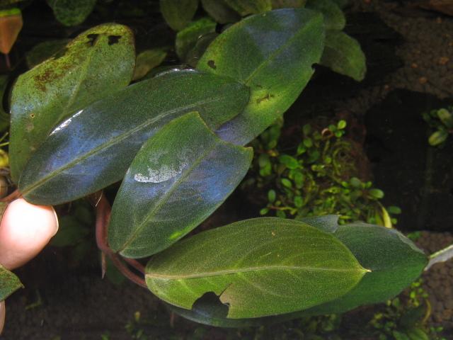 """画像1: Bucephalandra sp. """"Blue Tiger""""original location (1)"""