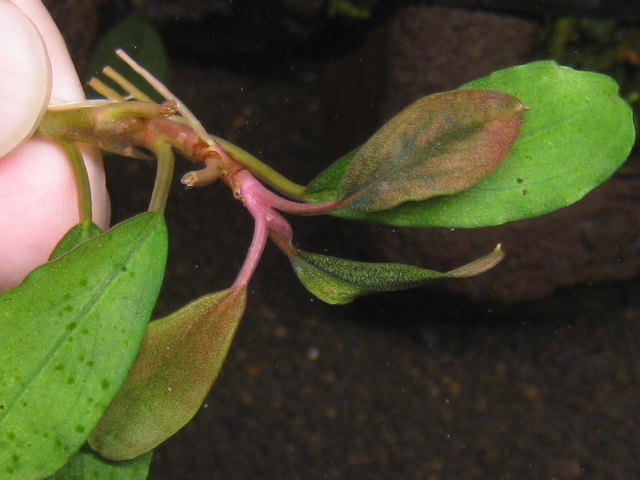"""画像1: Bucephalandra sp.""""Rare-type red""""collection (1)"""