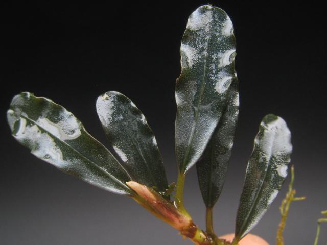 """画像1: Bucephalandra sp. """"Brownie ghost Elnino""""rare (1)"""