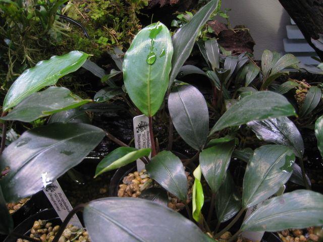"""画像1: Bucephalandra sp. """"SEDONG""""Bengkayang (1)"""