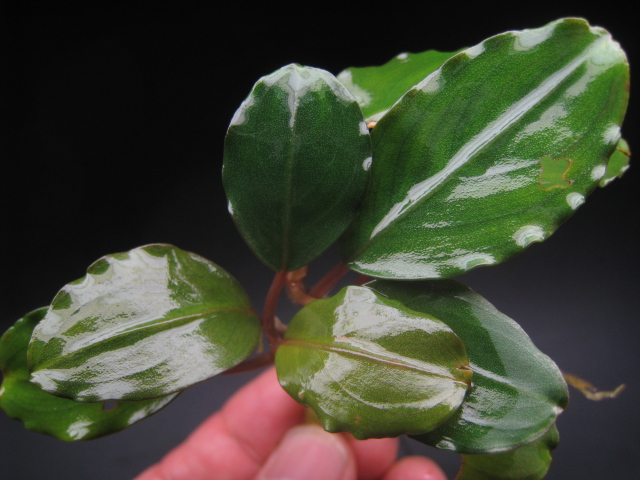 "画像1: Bucephalandra sp. ""Pink Bayuda"" (1)"