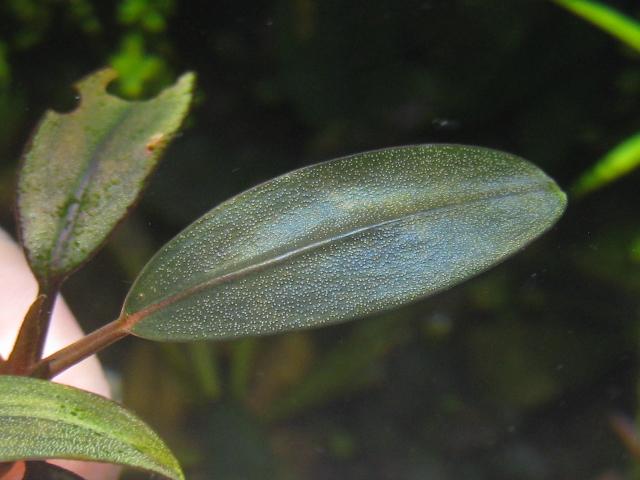 """画像1: Bucephalandra sp. """"Pearl red line""""colection (1)"""