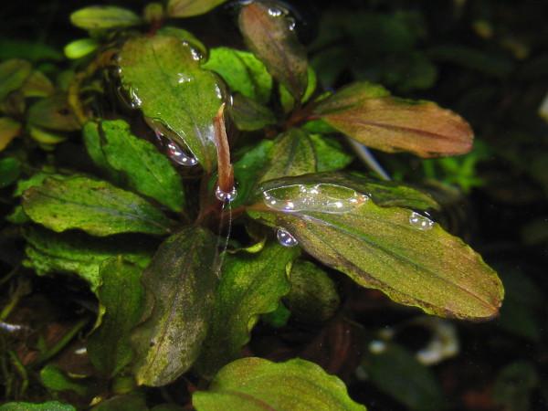 """画像1: Bucephalandra """"Tricolor Red"""" narrow-type rare (1)"""